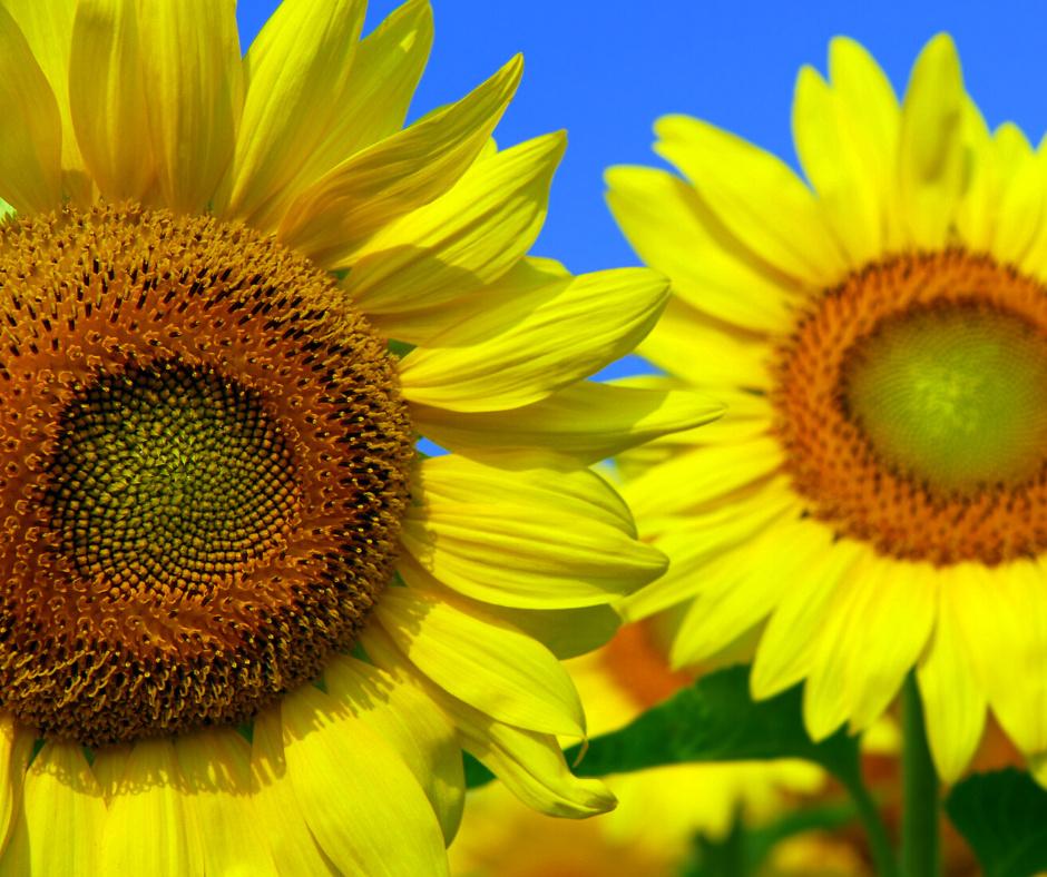 sunflower growing